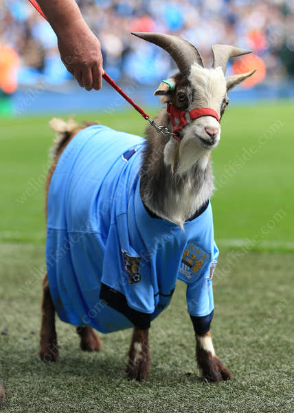 A goat dressed in a Man City shirt is paraded at half-time